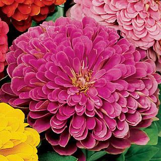 Zinnia Park's Picks Lilac