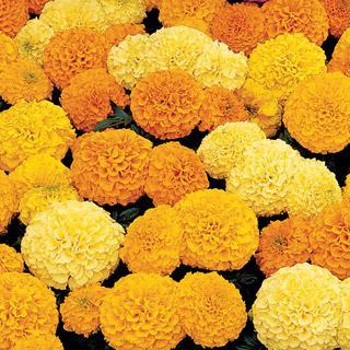 Marigold Inca II Hybrid Mix