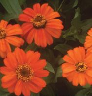 Profusion Orange