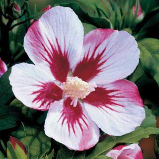 Red Heart Hibiscus syriacus Shrub