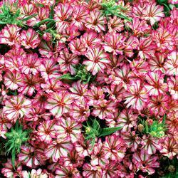 Phlox hybrida compacta 'Peppermint Candy'