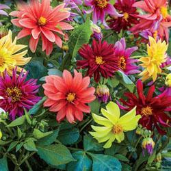 Dahlia variabilis 'Starlight Mixed'