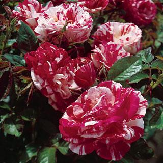 Scentimental 36-inch Patio Tree Rose