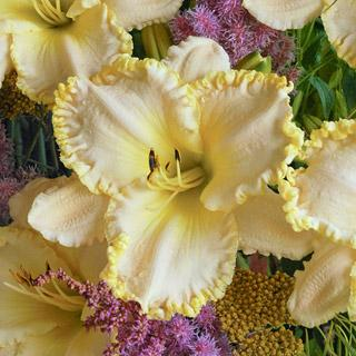 Marque Moon Hemerocallis Daylily Plant