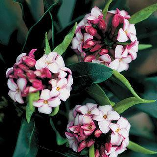 Alden's Regal Red Daphne Shrub