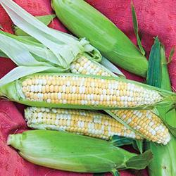 Double Standard Sweet Corn