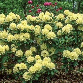 'Capistrano' Rhododendron