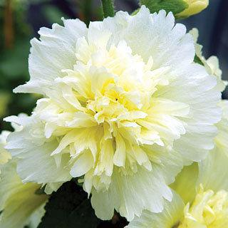 Hollyhock Spring Celebrities Lemon