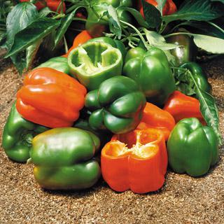 Pepper Oregon Hybrid