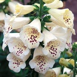 Foxglove hybrida 'Camelot Cream'