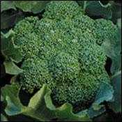 Calabrese Broccoli
