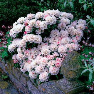 Anna H Hall Rhododendron Shrub