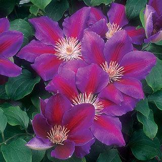 Anna-Louise™ Clematis Virgin's Bower Plant