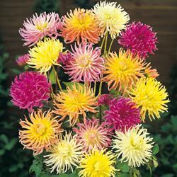 Dahlia variabilis 'Cactus Hybrids Mixed'