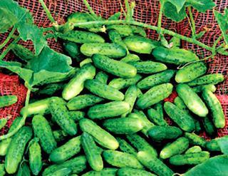 Cucumber Alibi