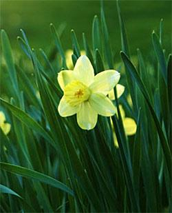SOLD OUT Pueblo Jonquilla Daffodil - 10 bulbs