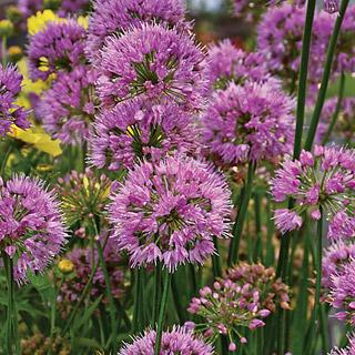 Millennium Allium Ornamental Onion Plant