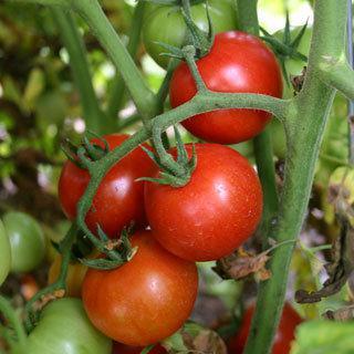 Grafted Tomato Stupice