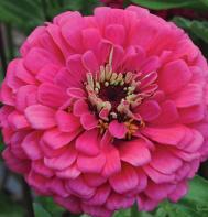 Giant Dahlia Flowered Deep Rose