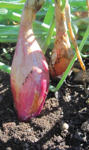Onion, Red Torpedo, Bulb