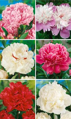 SOLD OUT Fragrant Peonies Collection - 6 divisions