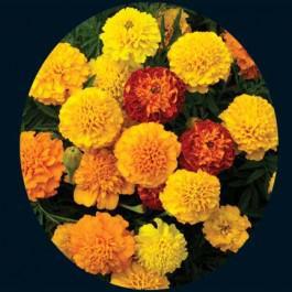 Petite Mix Marigold