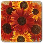 Organic Autumn Beauty Mix Sunflower