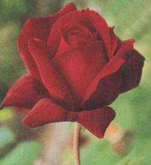 Oklahoma Hybrid Tea Rose - 1 bare root plant