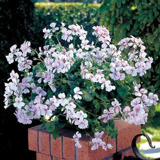 Geranium Summer Showers White Blush