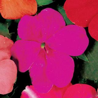 Impatiens Accent Violet Hybrid