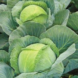 Cabbage Attraction F1 Hybrid