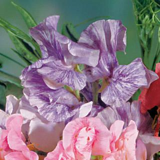 Sweet Pea Streamer Purple