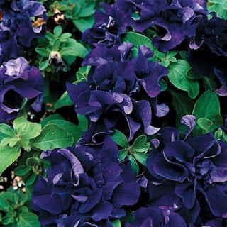 Petunia Double Cascade Blue Hybrid