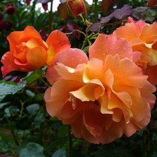 Westerland Apricot Climbing Rose