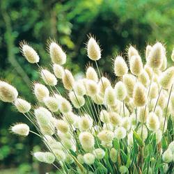 Grasses Lagurus ovatus