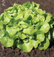 Panisse (Pelleted) Oakleaf Lettuce