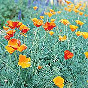 California Poppy Mix