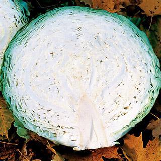 Cabbage Megaton Hybrid