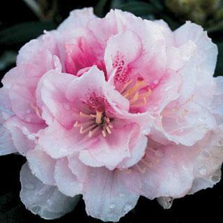 Ingrid Mehlquist Rhododendron Shrub