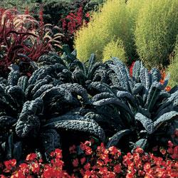 Kale Black Tuscany