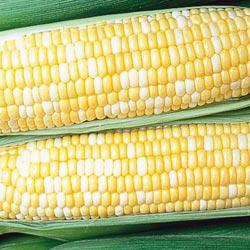 Honey 'N Pearl (sh2) Hybrid Sweet Corn