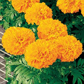 Marigold Inca II Orange Hybrid