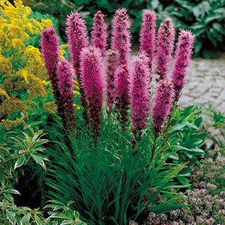 Kobold Original Liatris spicata Dense Blazing Star Plant