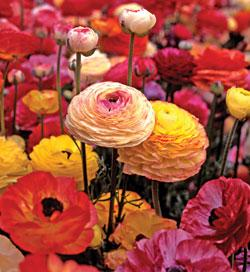 Mixed Tecolote® Ranunculus - 10 bulbs