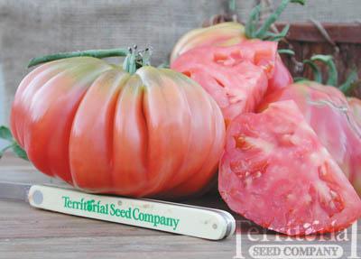 Pink Accordion Tomato Organic