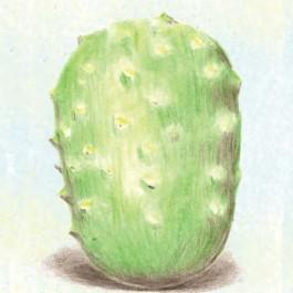 West India Burr Gherkins Cucumber