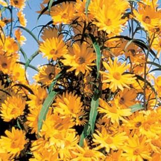 Maximillian Perennial Sunflower