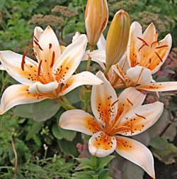 Orange Electric Asiatic Lily - 5 bulbs
