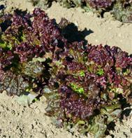 Teide Summer Crisp lettuce
