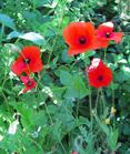 Corn Poppy , Flanders Field